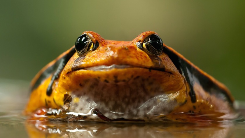 frog-208591_1920